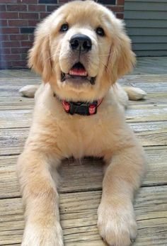 Brody the Golden Retriever / Dogs, Dogs, Dogs