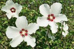 Hibiskus w ogrodzie przycinanie, rozmnażanie i zimowanie Hibiscus Rosa Sinensis, Garden, Flowers, Plants, Dom, Hibiscus, Garten, Lawn And Garden, Gardens