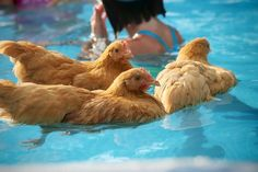 Chickens keeping cool in a swimming pool
