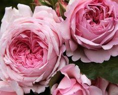 Розовые плетистые розы для разных опор