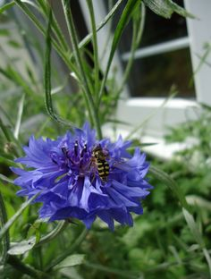 Hover fly on corn flower