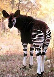 Okapi - love them as so gentle and look like they are wearing tights