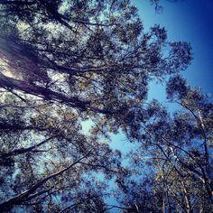 Looking up through eucalyptus trees