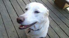 Chinook Labrador Retriever, Dogs, Animals, Labrador Retrievers, Animales, Animaux, Pet Dogs, Doggies, Labrador