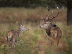 Red deer with jackdaw. by Richard McManus on 500px