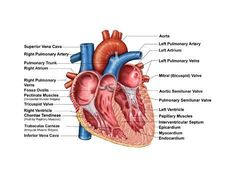 Anatomy of heart interior frontal section Canvas Art - Stocktrek Images x Heart Valves Anatomy, Heart Anatomy, Skin Anatomy, Human Anatomy, Cardiac Anatomy, Anatomy And Physiology, Tricuspid Valve, Heart Diagram, Cleaning Your Ears