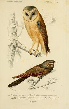 gravures couleur d'oiseaux - Gravure oiseau 0171 engoulevent ordinaire - caprimulgus europeus - passereau - Gravures, illustrations, dessins, images