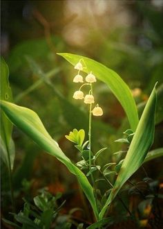 Lily of the valley is the national flower of Finland and Sweden.好漂亮的铃兰>u