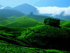 This is Kolukkamalai Tea Estate in the Munnar region of India. At 8000 feet it is the world highest tea estate.