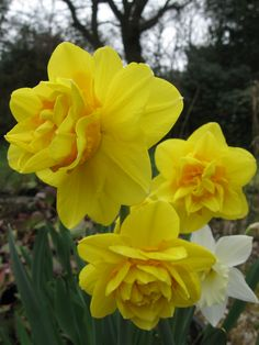 Daffodil Tahiti, lovely smelly double