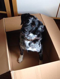 #gatsby #dog funny #cute #box - Gatsby wanted to help