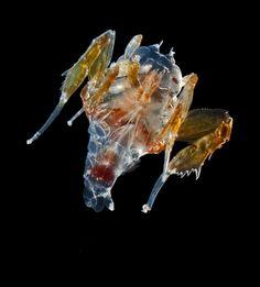 Johnsen Lab - Pelagic animals