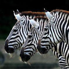 ...zebras...