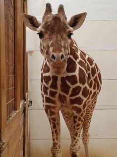 April the giraffe.
