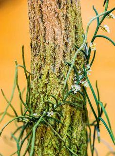 campylocentrum micranthum