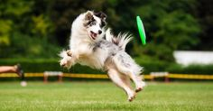 Border collie dog catching frisbee in jump in summer Poster 15 Dogs, Dogs And Puppies, Doggies, Summer Dog, Summer Time, Dog Park, Dog Pictures, Portrait Pictures, Photos