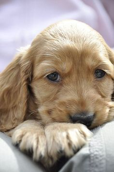 dog- love him & nice photo also- not sure but I think a cocker spaniel but has look of golden retriever too Cocker Spaniel, Spaniel Puppies, Springer Spaniel, Baby Dogs, Pet Dogs, Dog Cat, Beautiful Dogs, Animals Beautiful, Cute Puppies