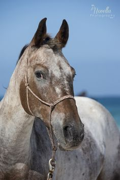 Appaloosa Horse at the beach
