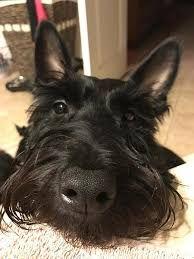 Image result for scottish terrier