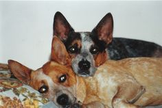 Smoke and Zoe, Red Heeler Blue Heeler brother and sister.  Australian Cattle Dogs