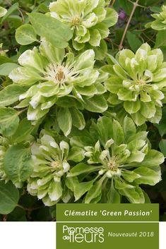 Une nouvelle variété vraiment très originale, aux grandes fleurs très doubles, ébouriffées, d'un vert tendre, au revers duveteux. Cette clématite atteignant 2 à 3m fleurit en mai-juin, puis à nouveau en septembre. C'est une plante caduque, florifère et compacte, aussi rustique que la Clematis patens dont elle est issue. Une merveilleuse petite liane, qui grimpe partout et s'adapte parfaitement à la culture en pots. #jardin #jardinage #clematite #vert