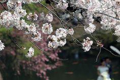 #cherry blossoms, #wedding, #garden, #spring, #pond,