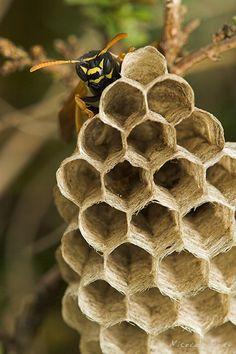 Bee and honeycomb.... nicolasdory.com