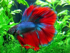 Red and Blue Betta saved from vk.com