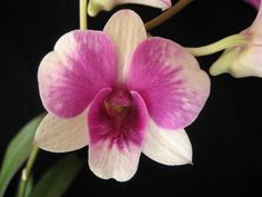 Flower-detail of Dendrobium 'Burana Doll' - by mini-catts