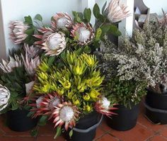 We are open till 5pm on sundays! Beautiful proteas in store now, August 2016.