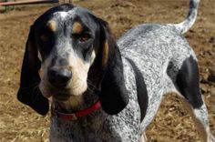 Bluetick Coonhound Dog | Dog & Puppy Site