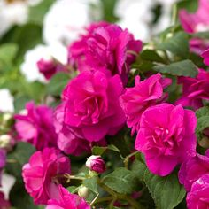 Helpful Guidelines In Growing Indoor Bonsai Trees Love Double Impatiens, This Is The Fiesta Purple, So Easy To Grow Double Impatiens, Summer Flowers, Colorful Flowers, Ornamental Cabbage, Herbal Cure, Decks And Porches, Shade Garden, Geraniums, Flowers