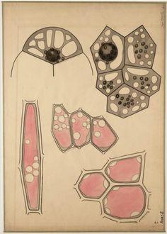 """leprocrastinateur:    Hugo de Vries (1848-1935). """"Jonge vacuolen. Adventieve vacuolen"""".  Source: ici."""