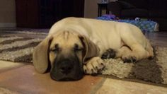 My new 8 week old Great Dane puppy. I call him Baby Dukes♥