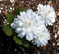 Sanguinaria canadensis ''Multiplex'' Double Bloodroot from E.C. Brown's Nursery