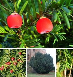 Latin name: Taxus baccata, Common name: English Yew. red berries are poisonous Witch Garden, Plants, Planting Flowers, Shrubs, Flowers, Taxus Baccata, Poisonous Plants, Trees To Plant, Flower Remedy