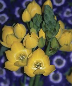 marvelous golden form of one of our favorite indoor bulbs; easy and long-lasting.