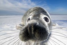 """Seal Pup: """"What does this thing called 'A Camera' do exactly?""""                                       By: Mark Smith."""