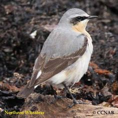 Northern Wheatear - Europe and Asia with footholds in northeastern Canada and Greenland as well as in northwestern Canada and Alaska.
