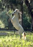 Paso Fino Stallion Rearing on cue