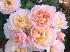 2015 осень [Кавамото розарий и -де-Луз] | Кумамото крупномасштабной всеобъемлющего садоводства магазин Naserizu
