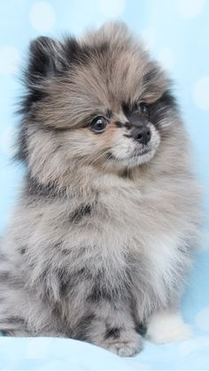 Pomeranian Puppies and Teacup Pomeranians For Sale at TeaCups Pomeranian Puppies and Teacup Pomeranians For Sale at TeaCups Source by abglnason The post Pomeranian Puppies and Teacup Pomeranians For Sale at TeaCups appeared first on Kuba Dog Life. Cute Puppies, Cute Dogs, Dogs And Puppies, Yorkie Dogs, Cute Baby Animals, Funny Animals, Animals Dog, Cute Pomeranian, Blue Merle Pomeranian
