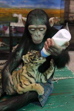 chimp feeding tiger cub