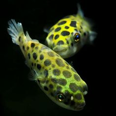 The Spotted Puffer is an attractive and active oddball freshwater puffer fish that appears friendly, but should be kept only with semi-aggressive or aggressive fish. Live Freshwater Fish, Pretty Fish, Unique Animals, Planted Aquarium, Ocean Life, Tropical Fish, Fish Tank, Painted Rocks, Fresh Water