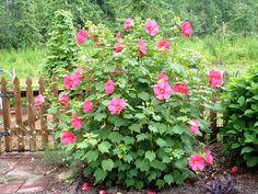 Hibiscus | Hibiscus Plant - hmm I'm liking this idea a lot
