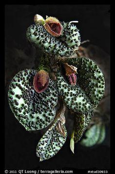 Pleurothallis melanopoda