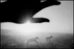 Matt Black USA. Firebaugh, California. 1995. Sheep in melon field.