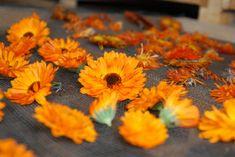 Séchage de fleurs de calendula