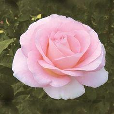 ~Falling in Love - David Austin Roses