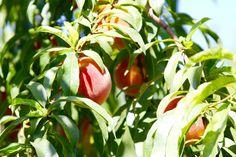 https://flic.kr/p/V6i79i | cloverleaf farm davis california peaches | cloverleaf farm davis california peaches